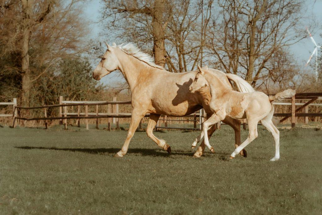 Pony Der kleine Goldjunge